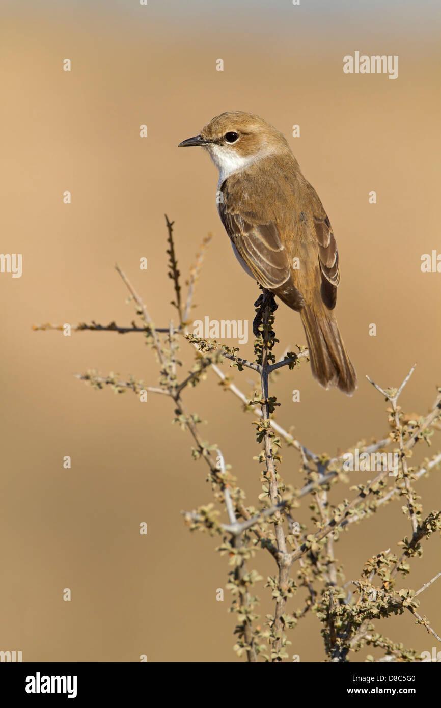 Mariqua Flycatcher (Melaenornis mariquensis), Auob Riverbed, Botswana - Stock Image