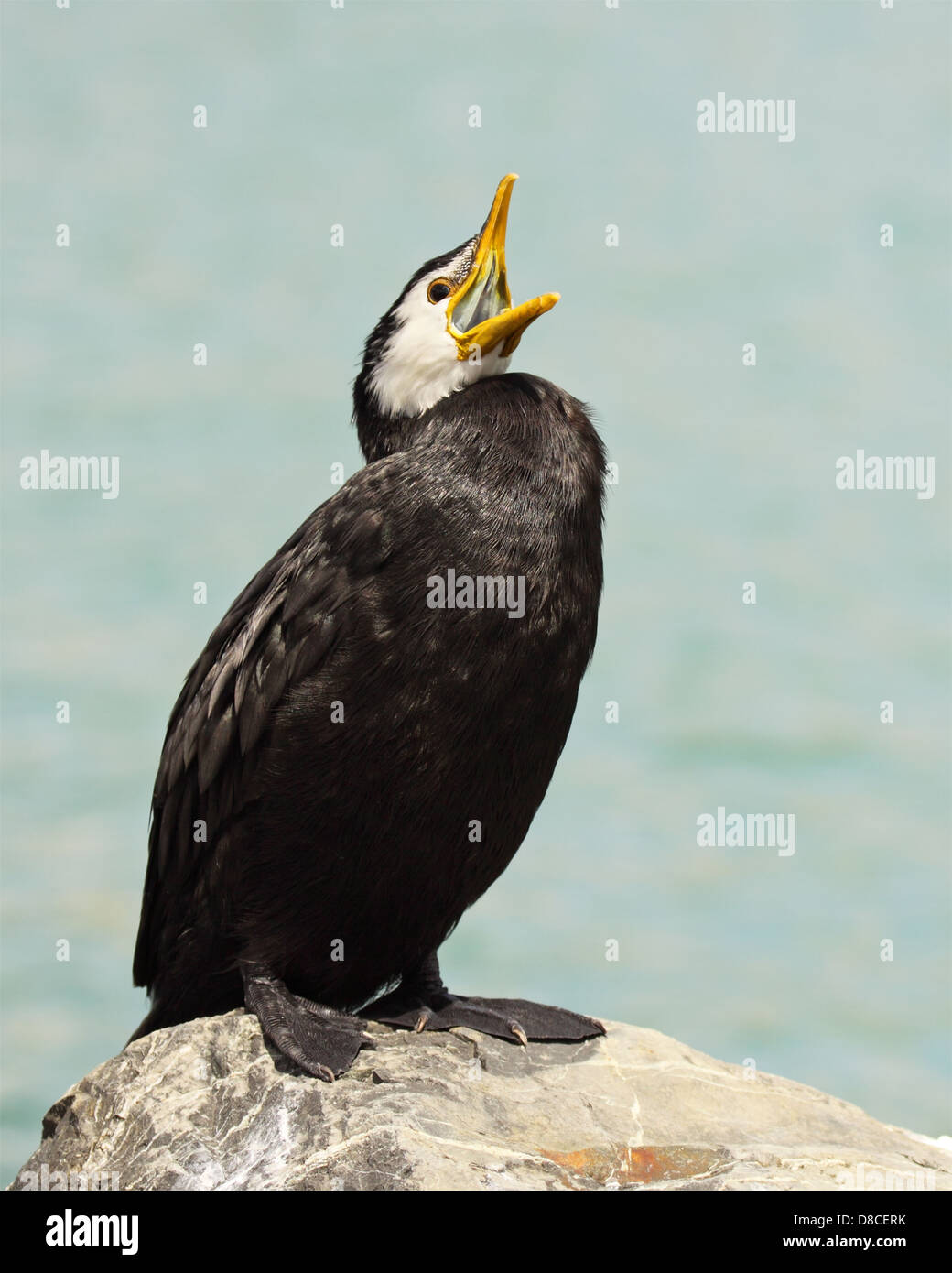 A Little Pied Shag calling out from a rocky perch. - Stock Image