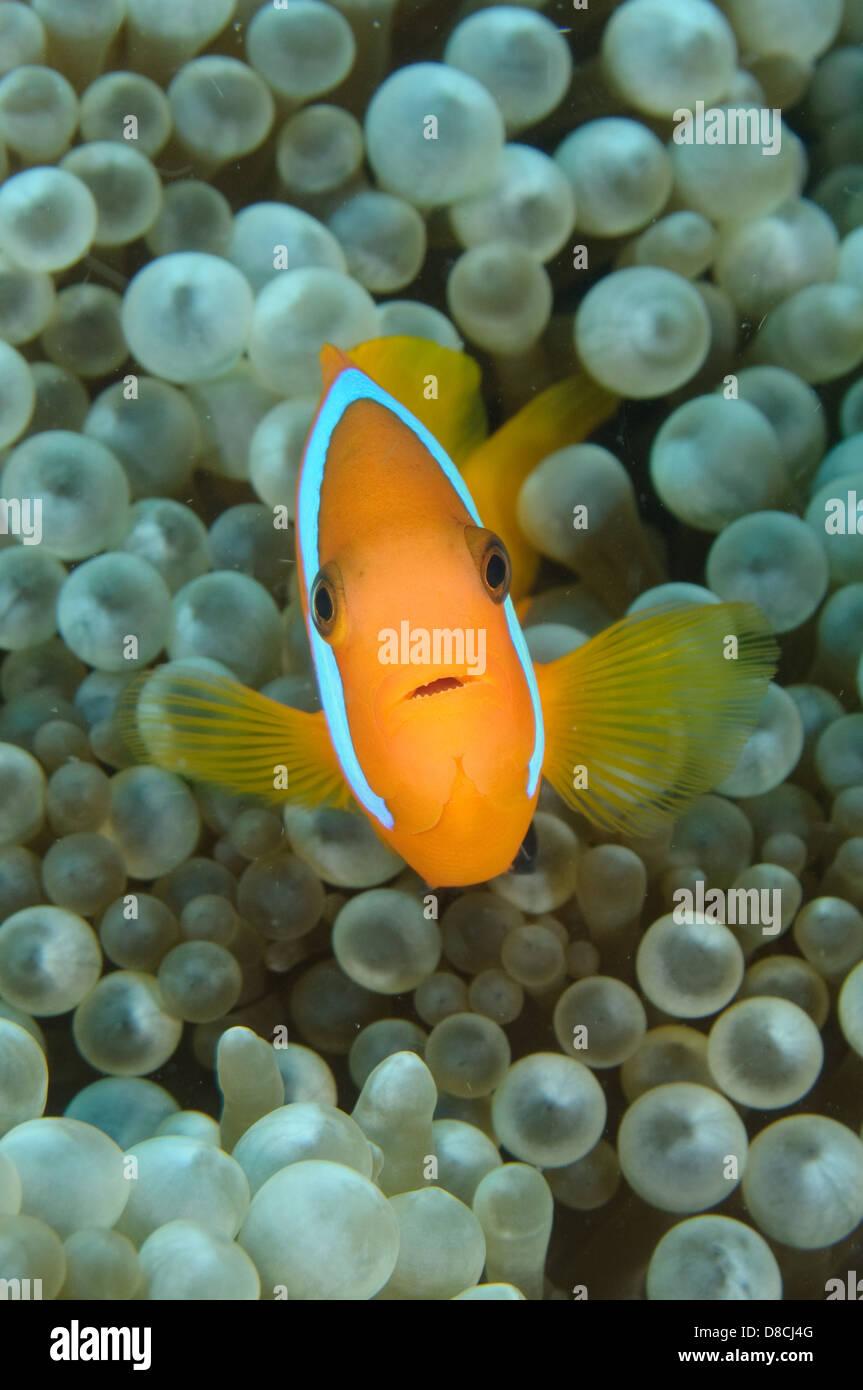 Black anemonefish, Amphiprion melanopus at Gotham City, Mele Bay, Efate, Vanuatu. - Stock Image