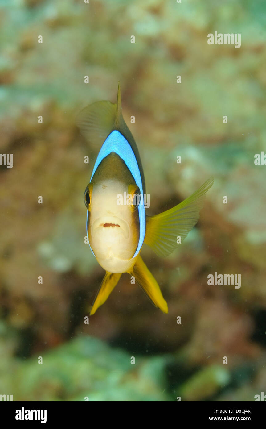 Barrier reef anemonefish, Amphiprion akindynos, at Aloara Wreck, Mele Bay, Efate, Vanuatu. - Stock Image