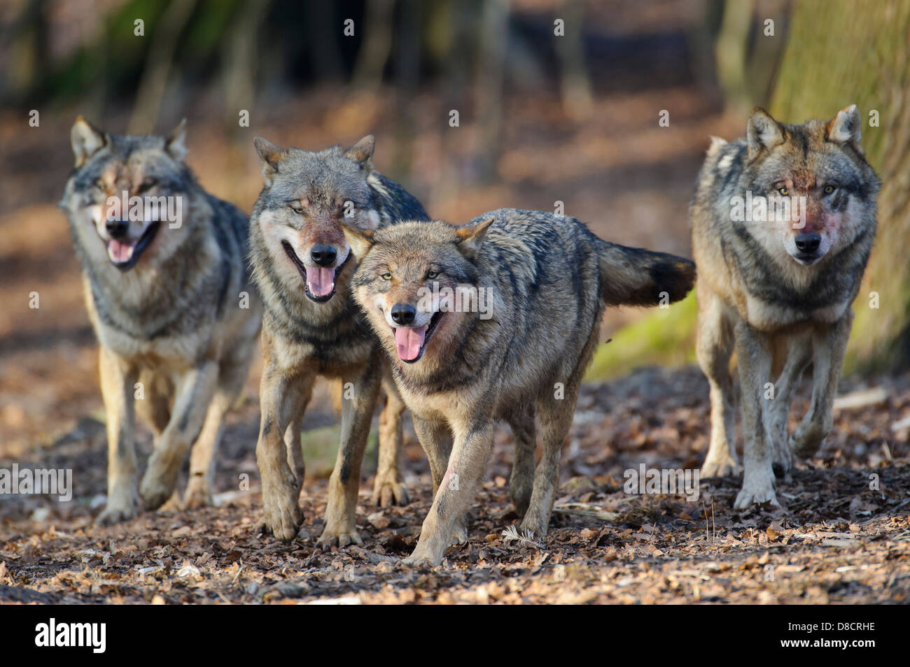 gray wolf, canis lupus Stock Photo
