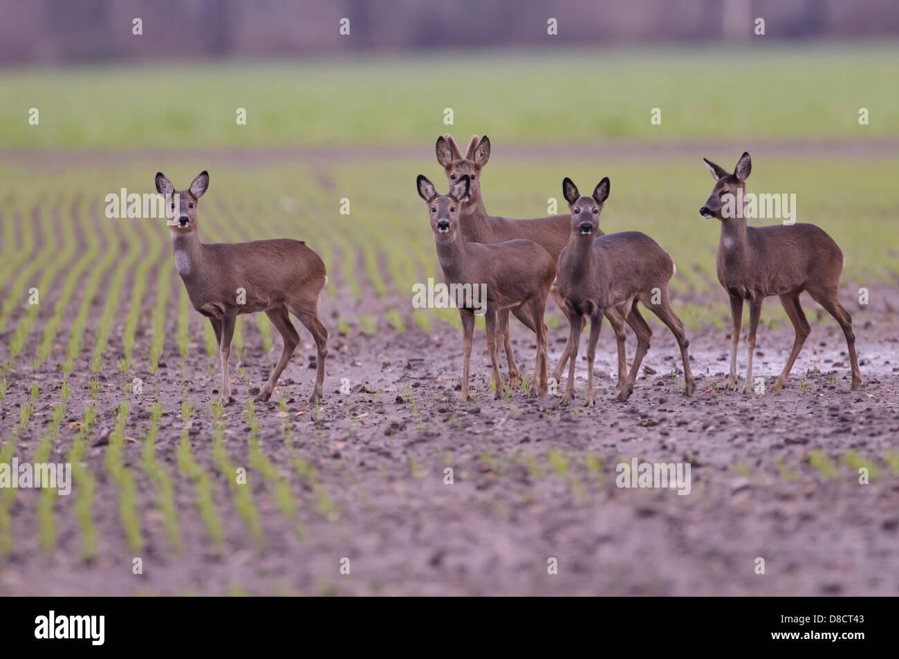 roe deer, capreolus capreolus - Stock Image