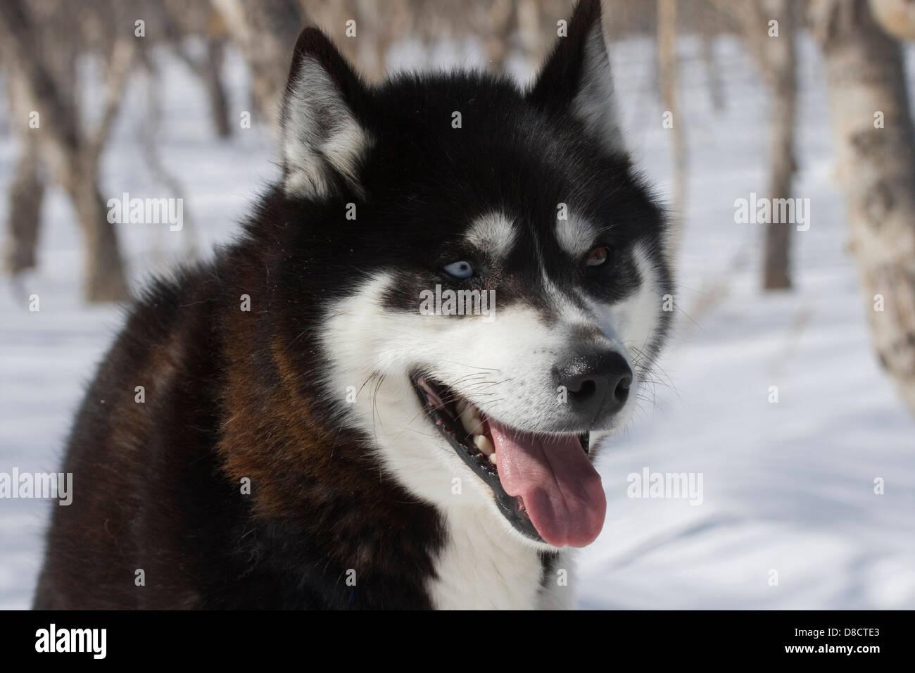 Siberian Husky In The Snow Petropavlovsk Kamchatka Siberia Stock