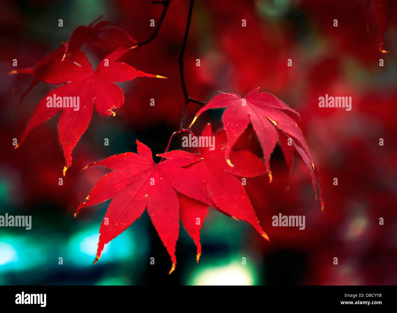 Closeup of a cluster of bright red leaves on a Japanese maple tree in a Virginia garden.  Blurred background behind - Stock Image