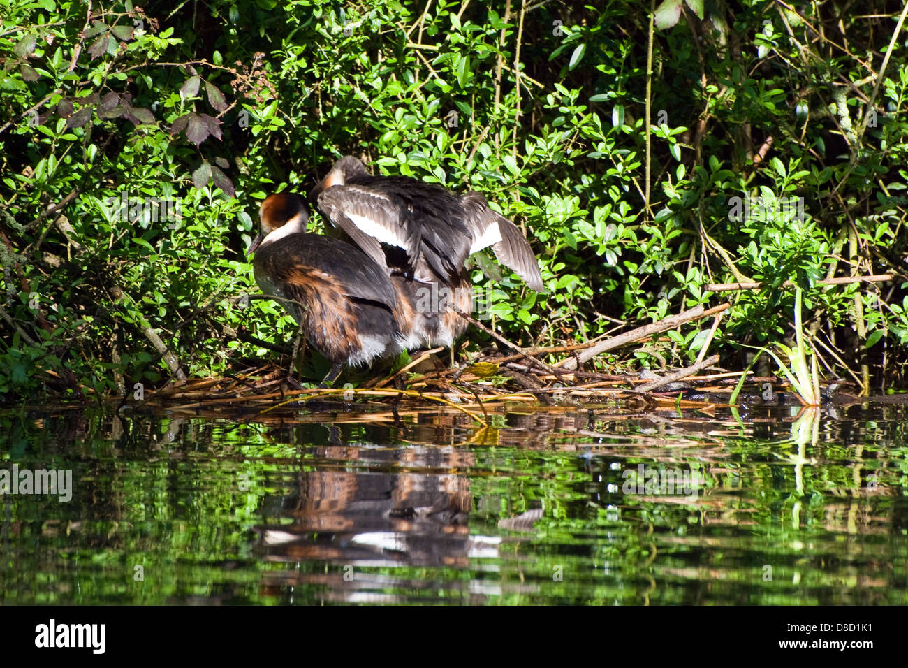 Pair of Great Crested Grebe on the nest - Stock Image