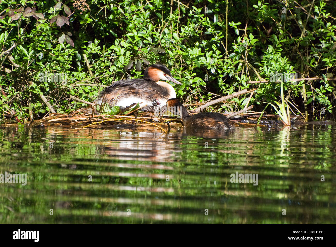 Pair of Great Crested Grebe nesting - Stock Image