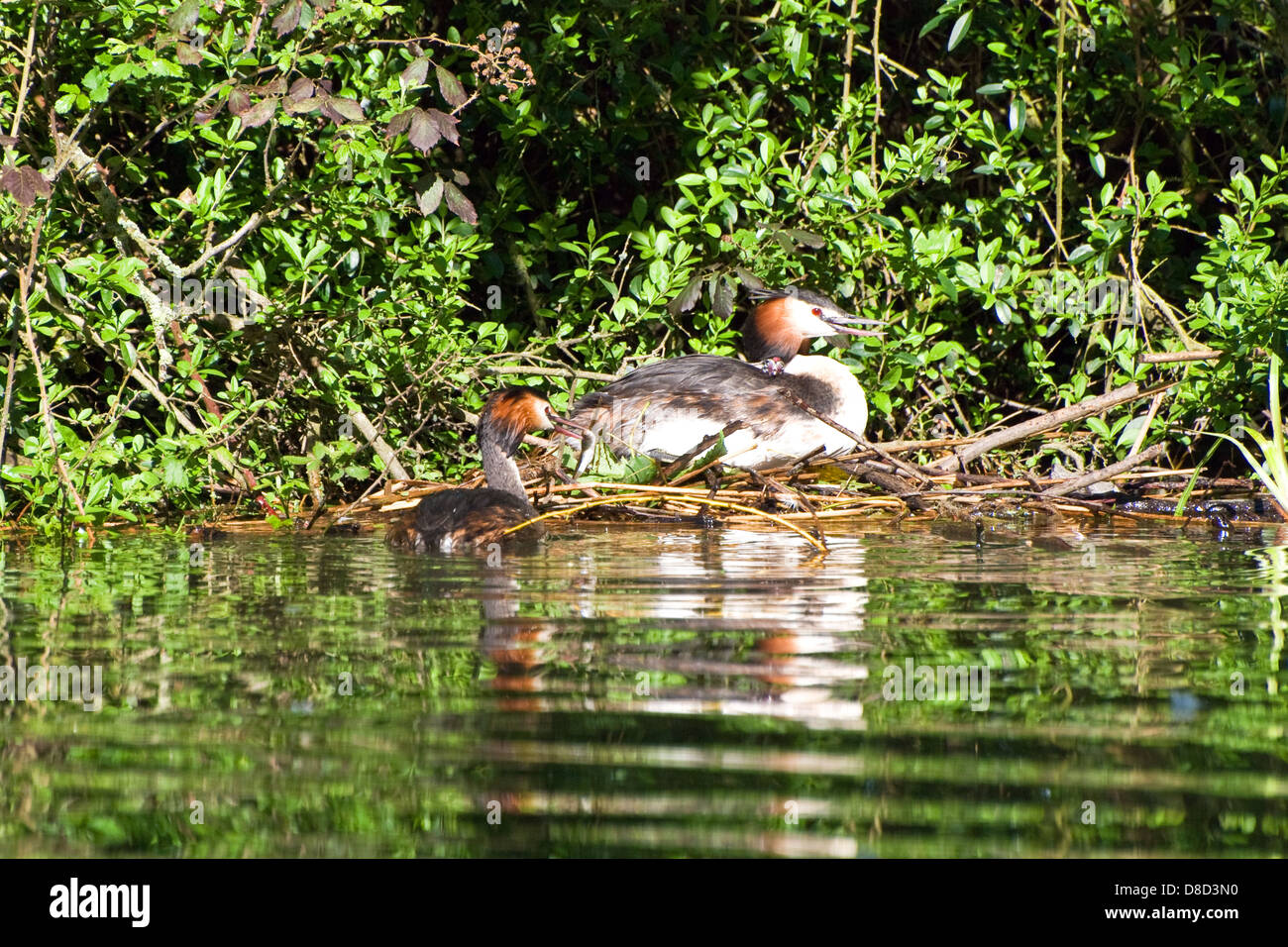 Pair of Great Crested Grebe - Stock Image