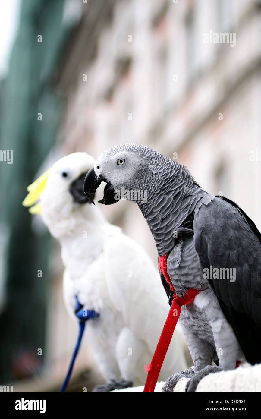 Charlie an African Grey Parrot and his mate Angelo, a