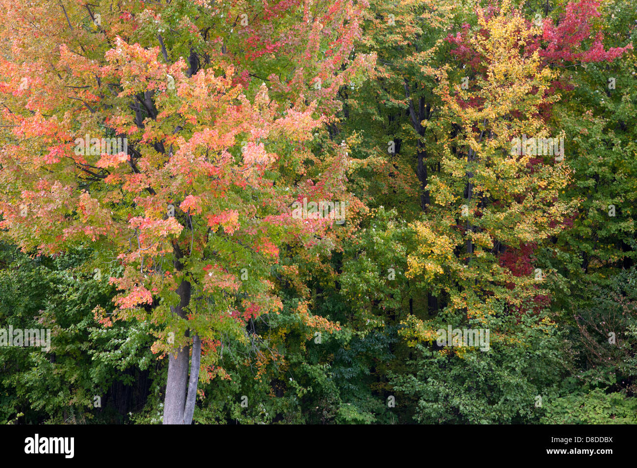 Maple tree in fall colours - Stock Image