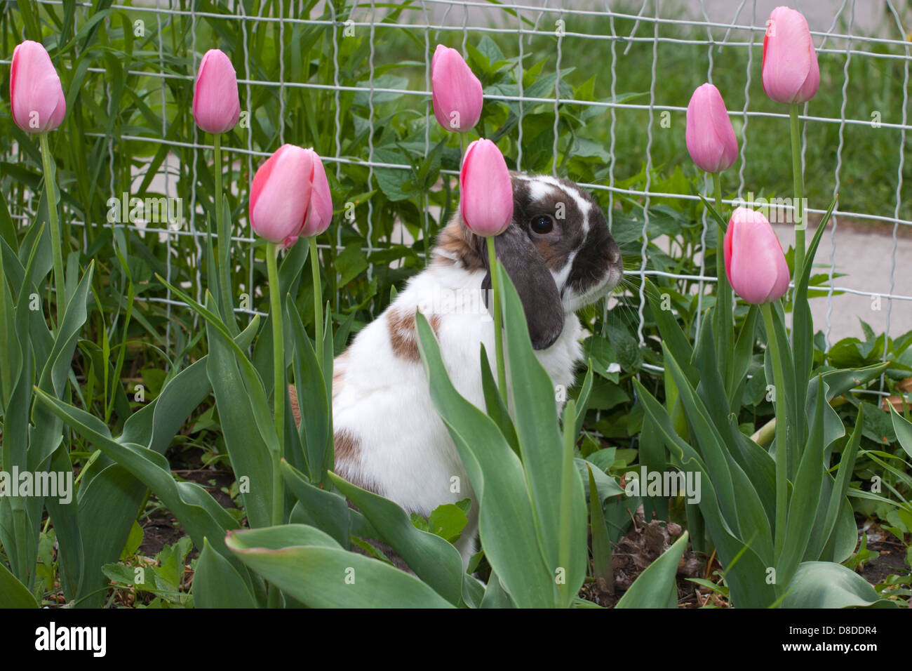 Holland Lop pet rabbit among the tulips in garden - Stock Image