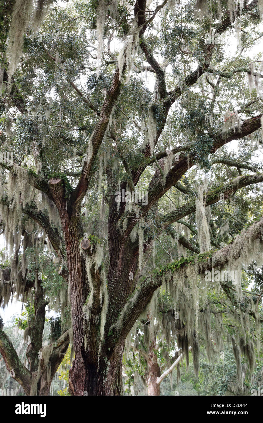 Spanish moss on a live oak in the southern states of the USA - Stock Image