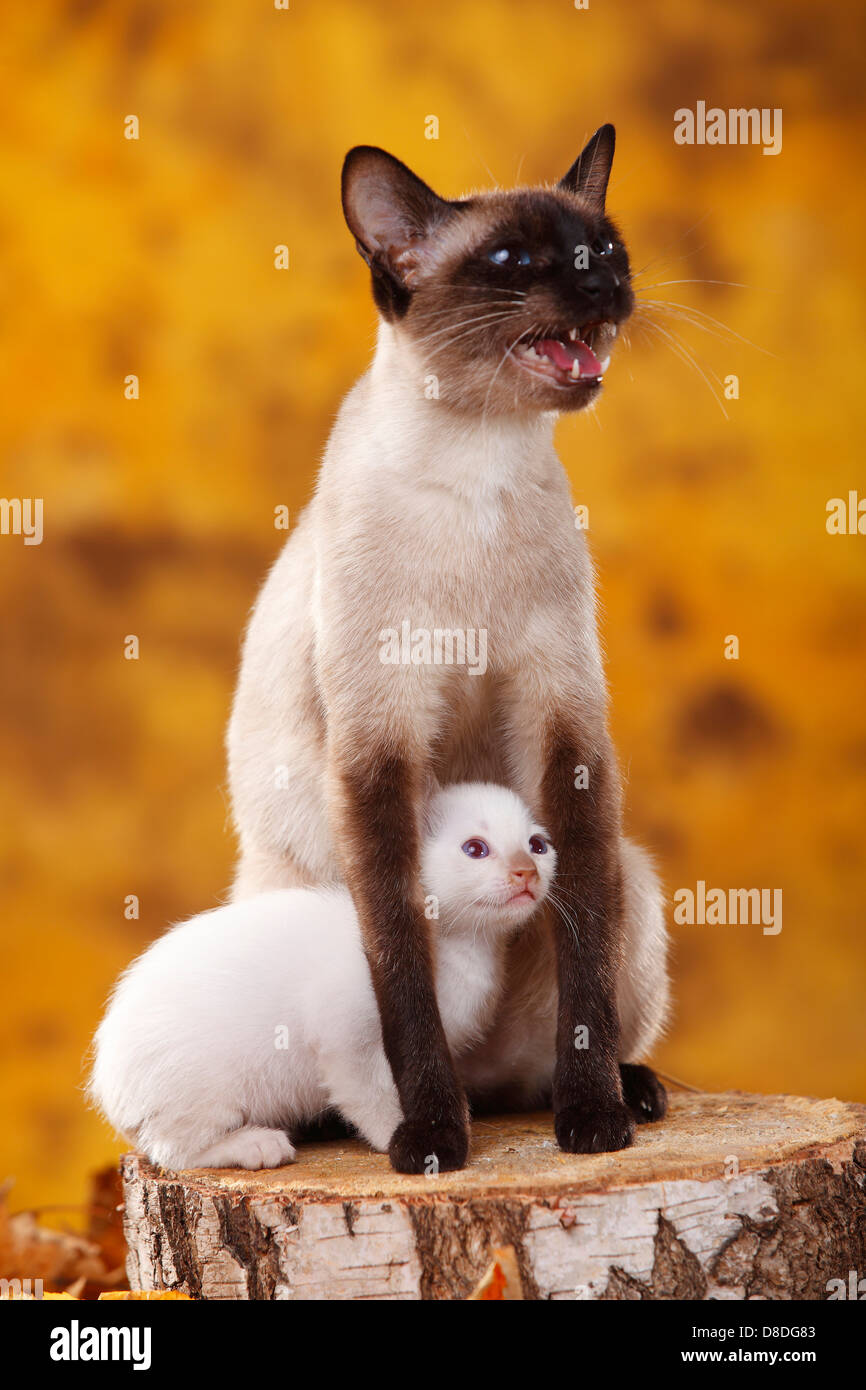 Classic Siamese Cat, seal-point, with kitten, cinnamon-point - Stock Image
