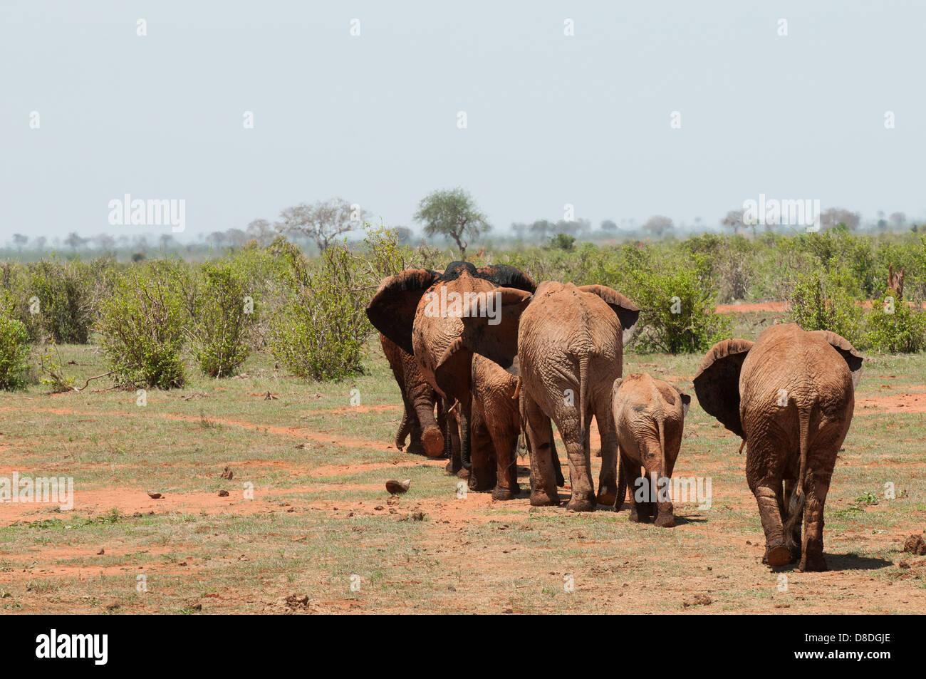 elephants in Tsavo National Park Kenya - Stock Image