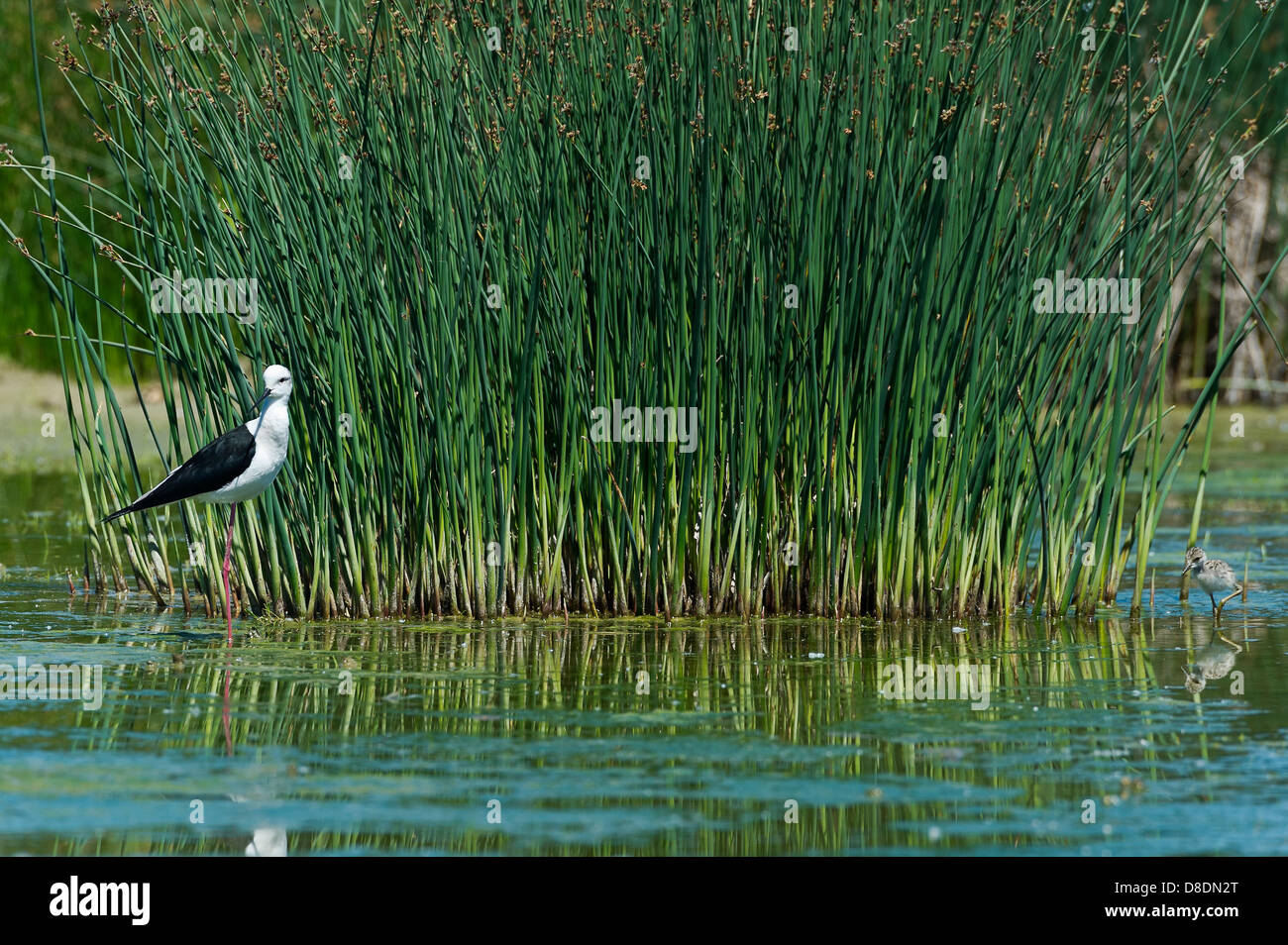 a male Black-winged Stilt with a chick in a marsh - Stock Image