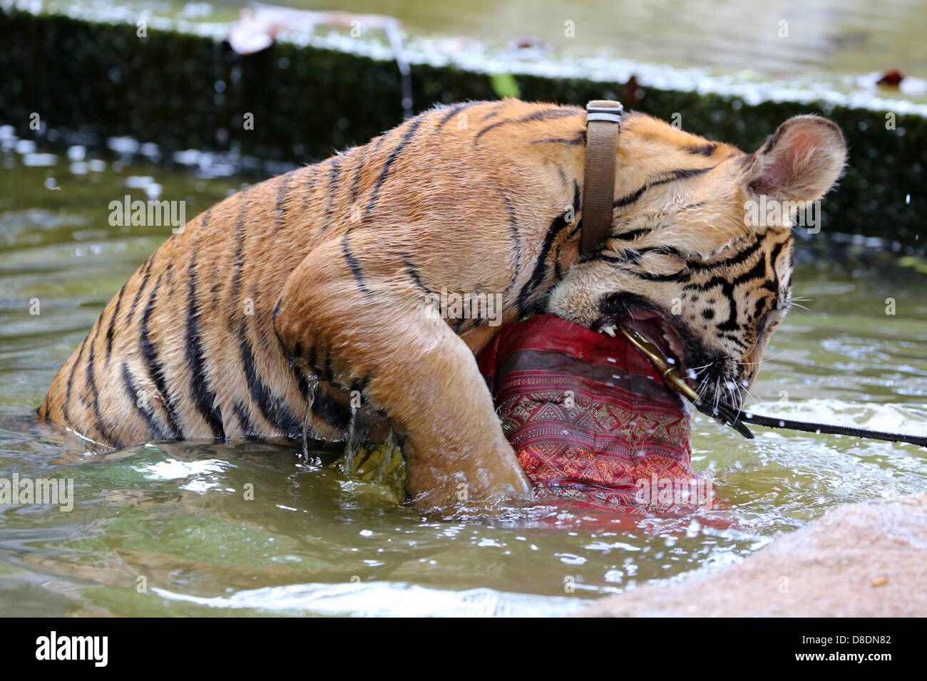 Kanchanaburi, Thailand. 26th May, 2013. Tigers are used to living in hot countries, but even the best of them can't - Stock Image