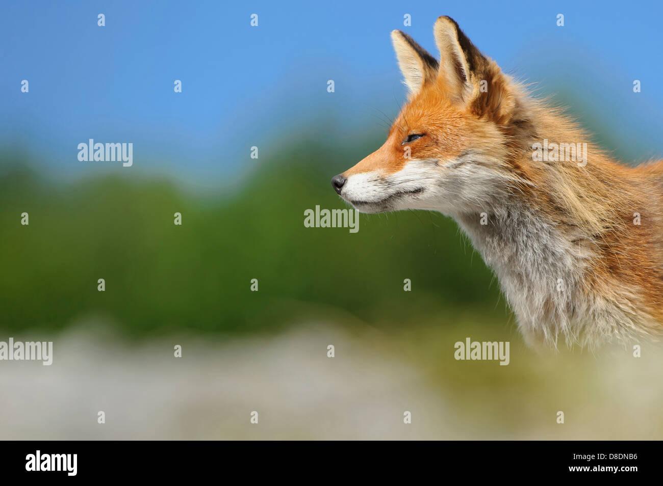 red fox, vulpes vulpes, lauvsnes, norway - Stock Image