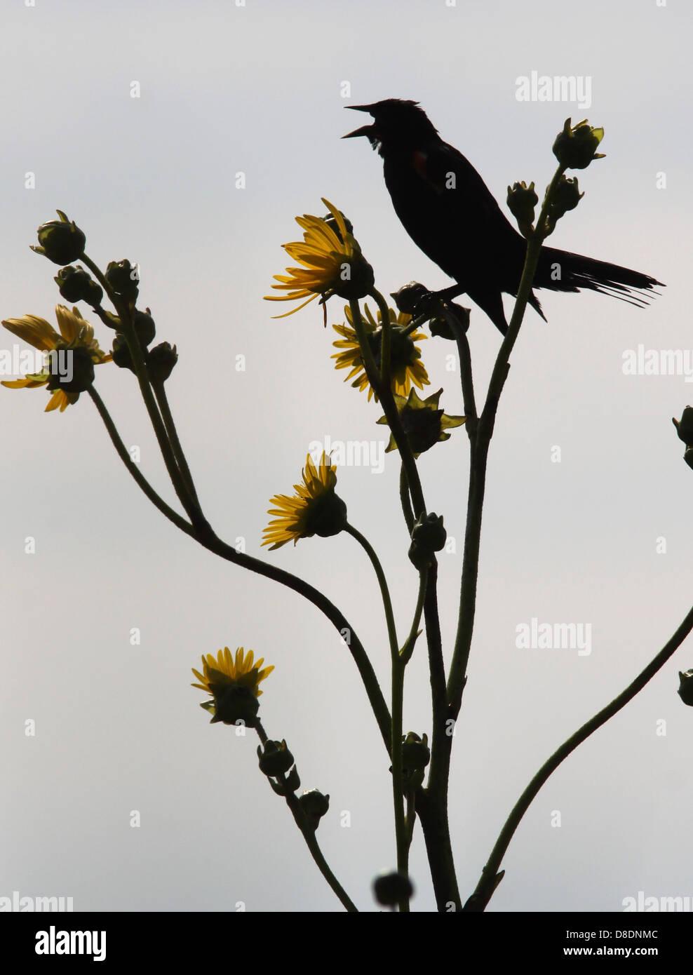 Red winged blackbird on prairie dock Ohio in territory - Stock Image
