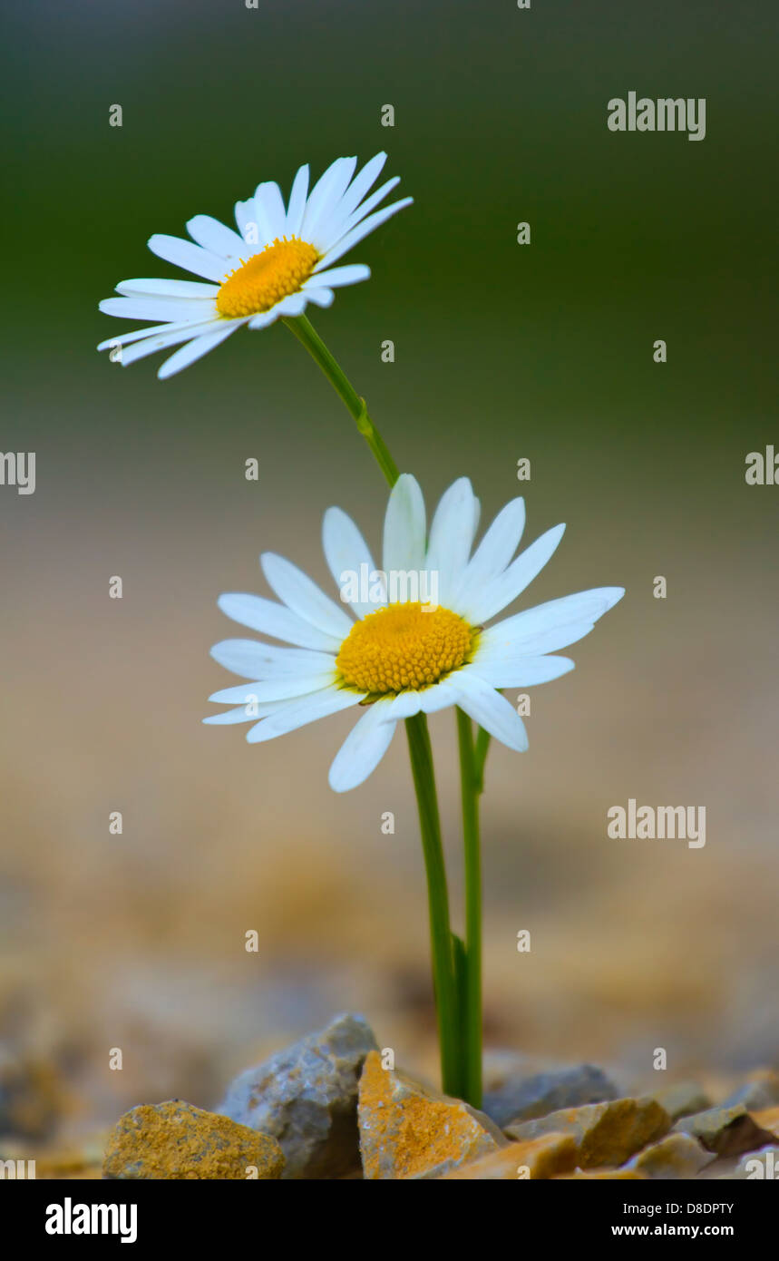 Pair of daisy flower in the concrete. - Stock Image