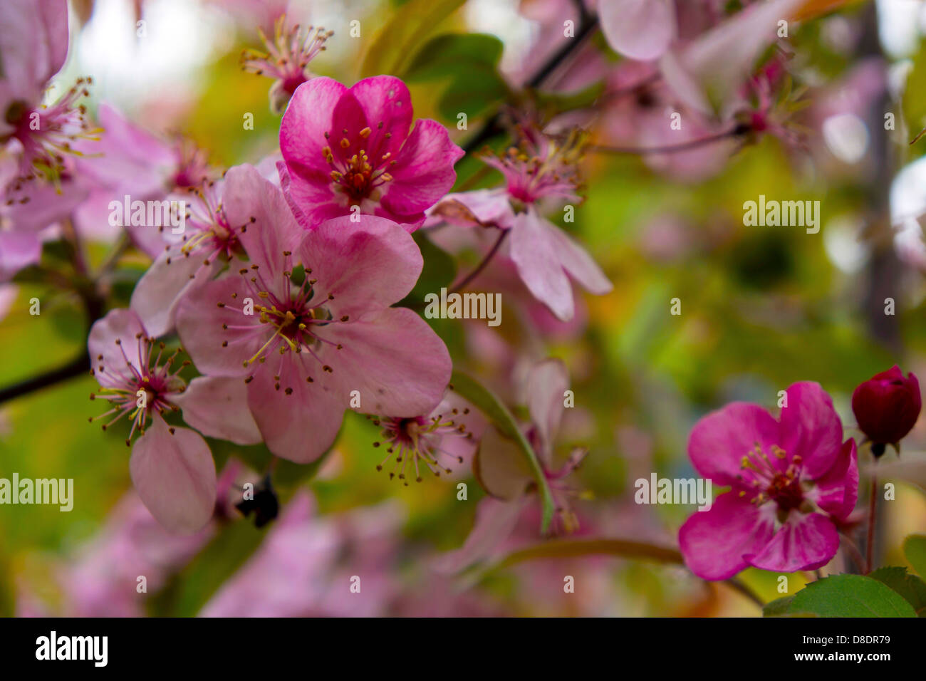 Pink Apple Blossom Stock Photos & Pink Apple Blossom Stock ...