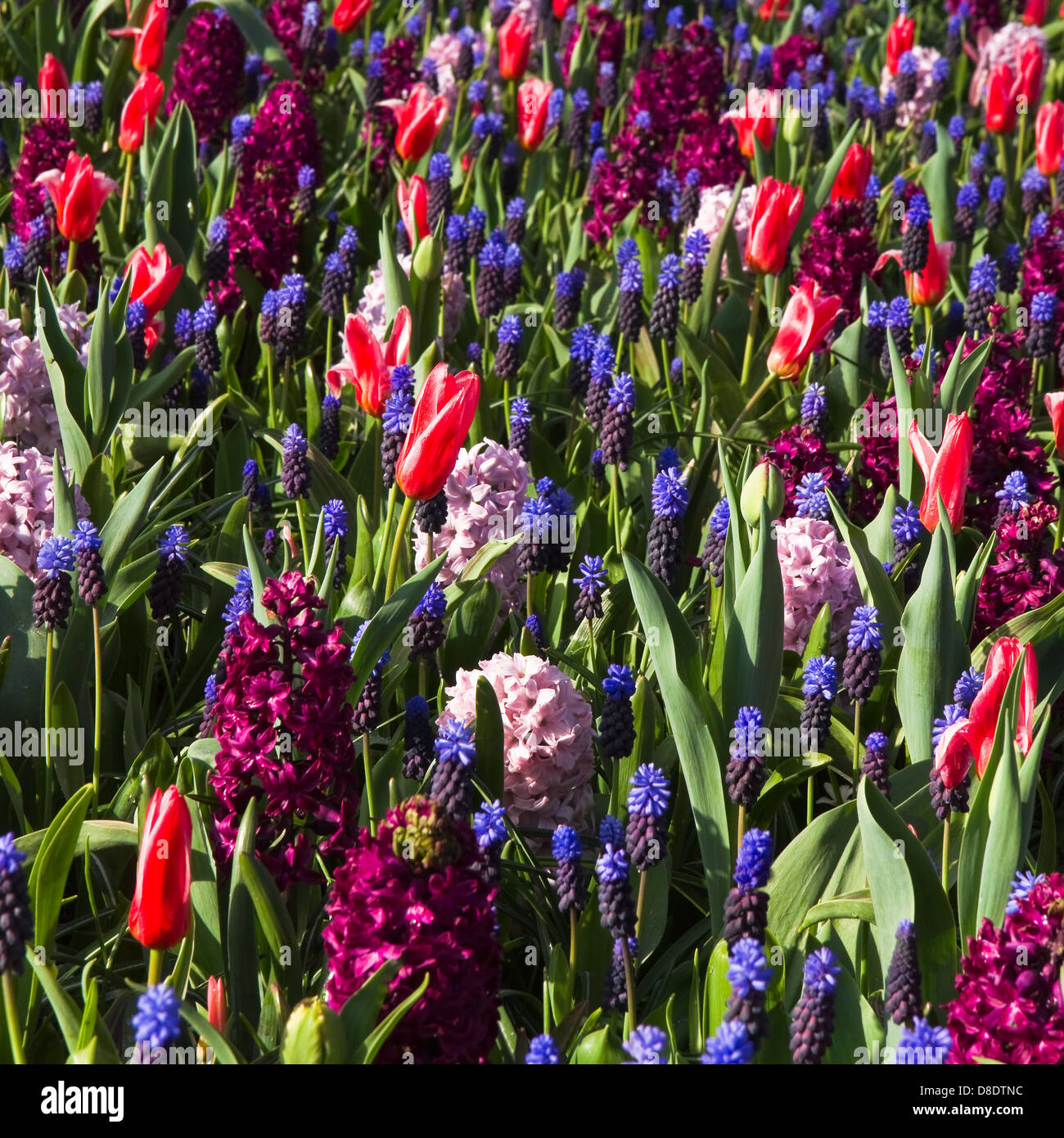 Tapestry of spring flowers - tulips, hyacinths and grape hyacinths in cool colors - Stock Image