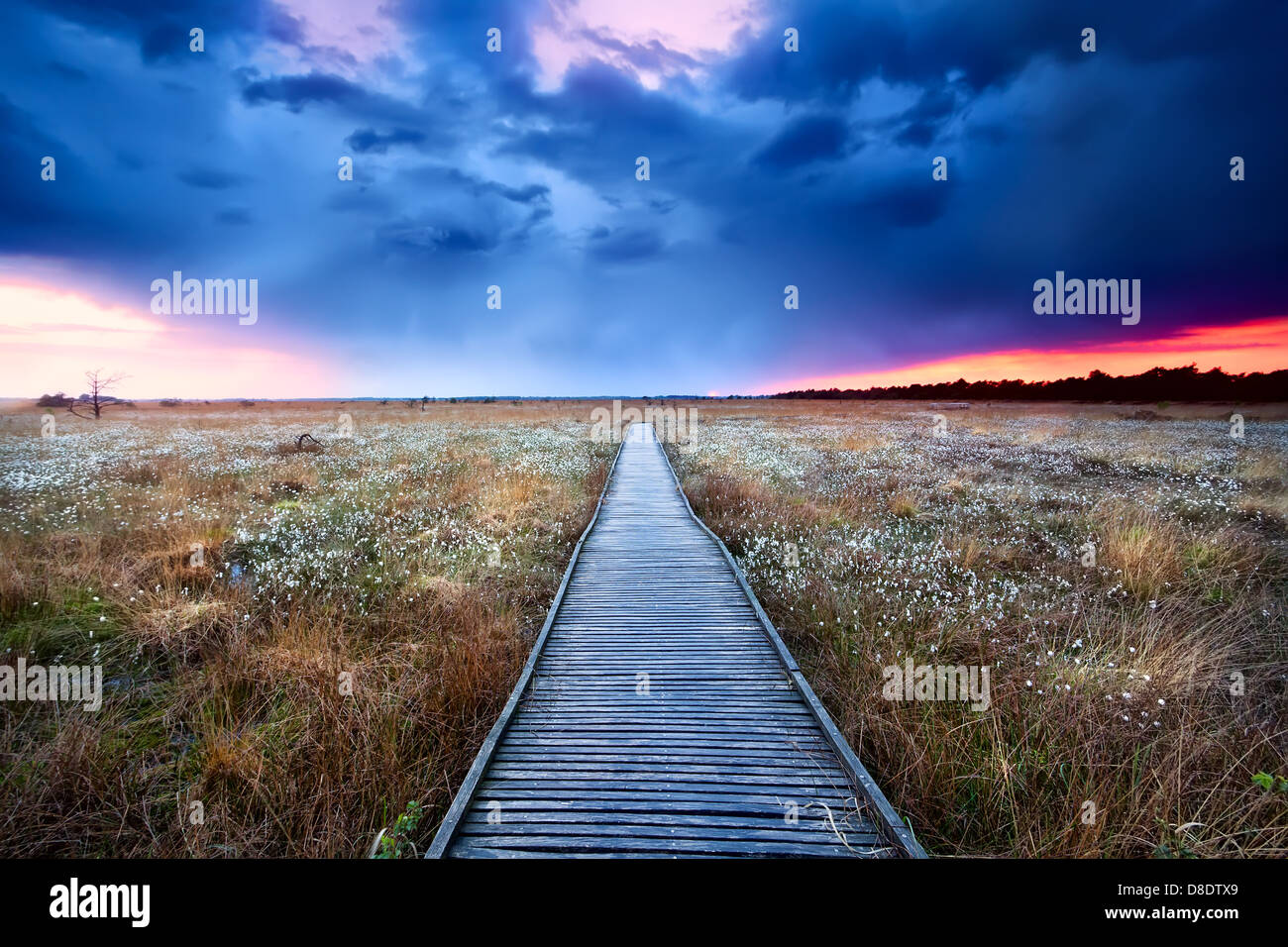 wooden path on swamp with flowering cottograss at sunset - Stock Image