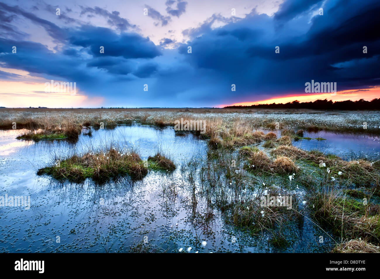 flowering cottongrass on swamp at sunset during storm, Drenthe - Stock Image