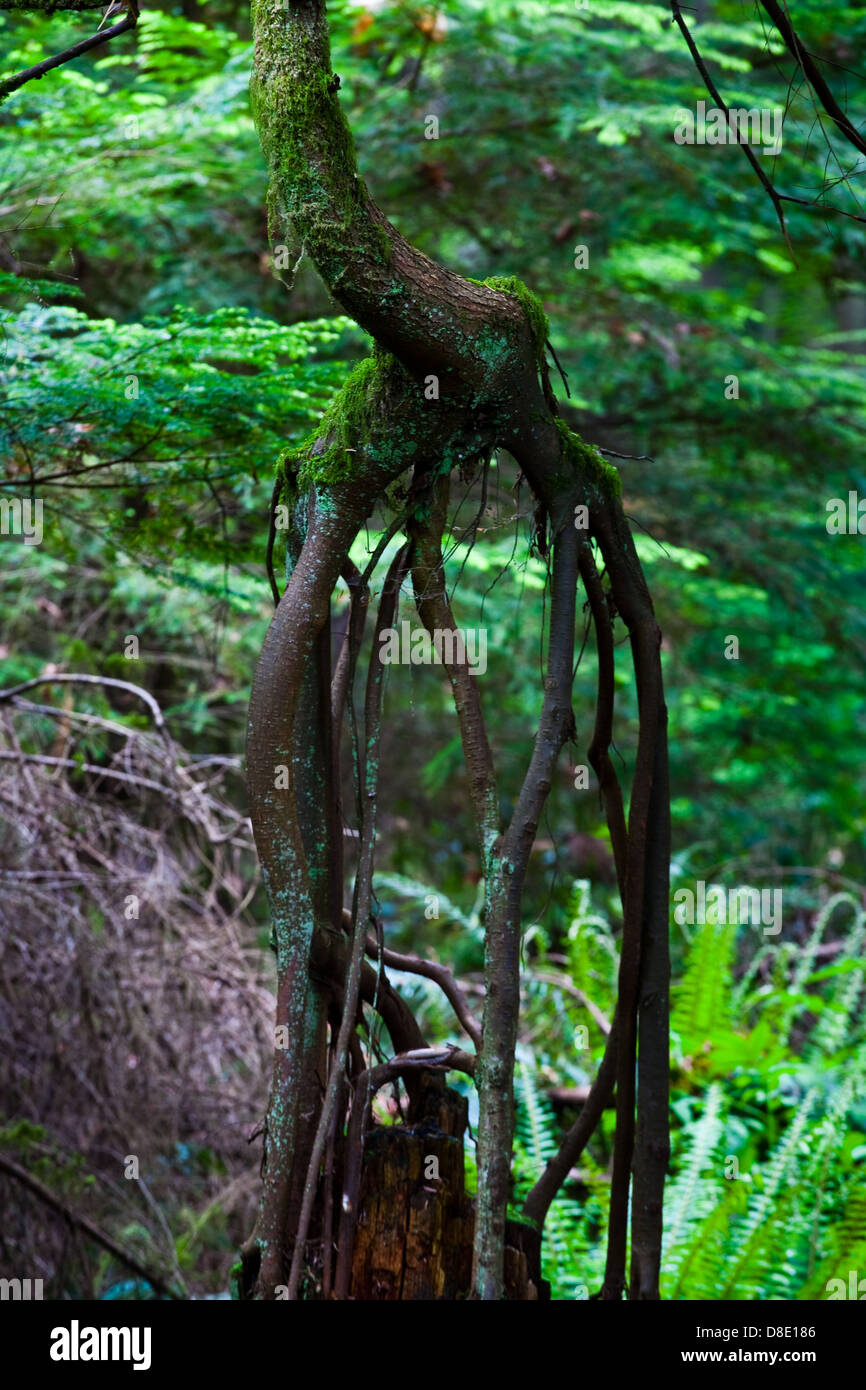The root structure of a young fir tree whose original life-giving stump has rotted out from under the new tree - Stock Image