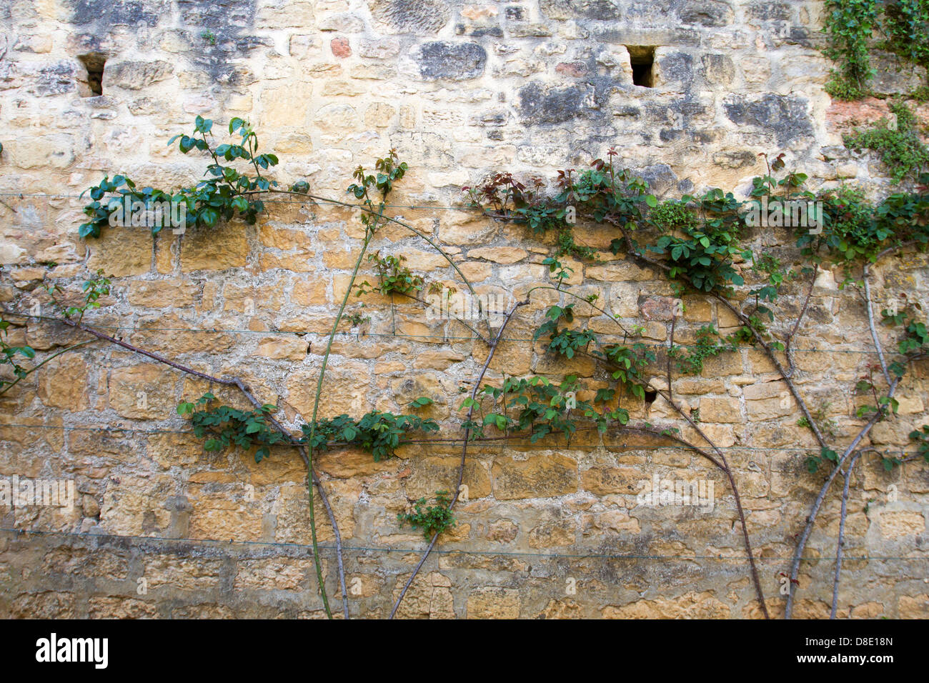 Vines growing along medieval stone wall in Sarlat, Dordogne region of France - Stock Image