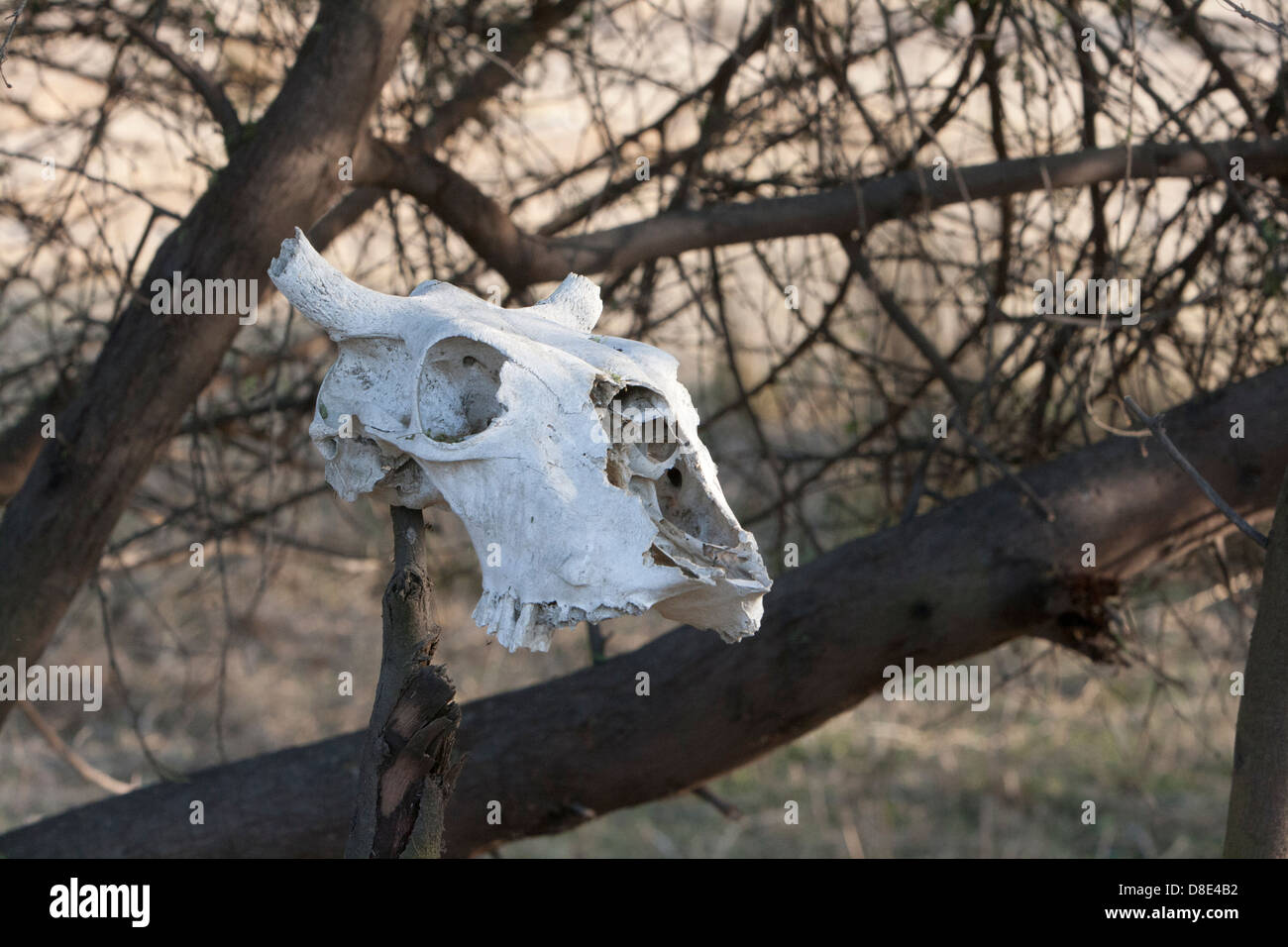 The Cattle Head Skeleton at Keoladeo Bird Sanctuary Rajasthan . - Stock Image