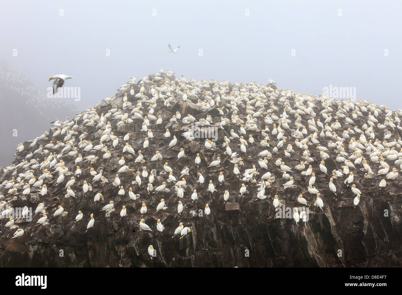 Northern Gannet Colony in Bird Rock, Cape St Mary, Newfoundland, Canada - Stock Image