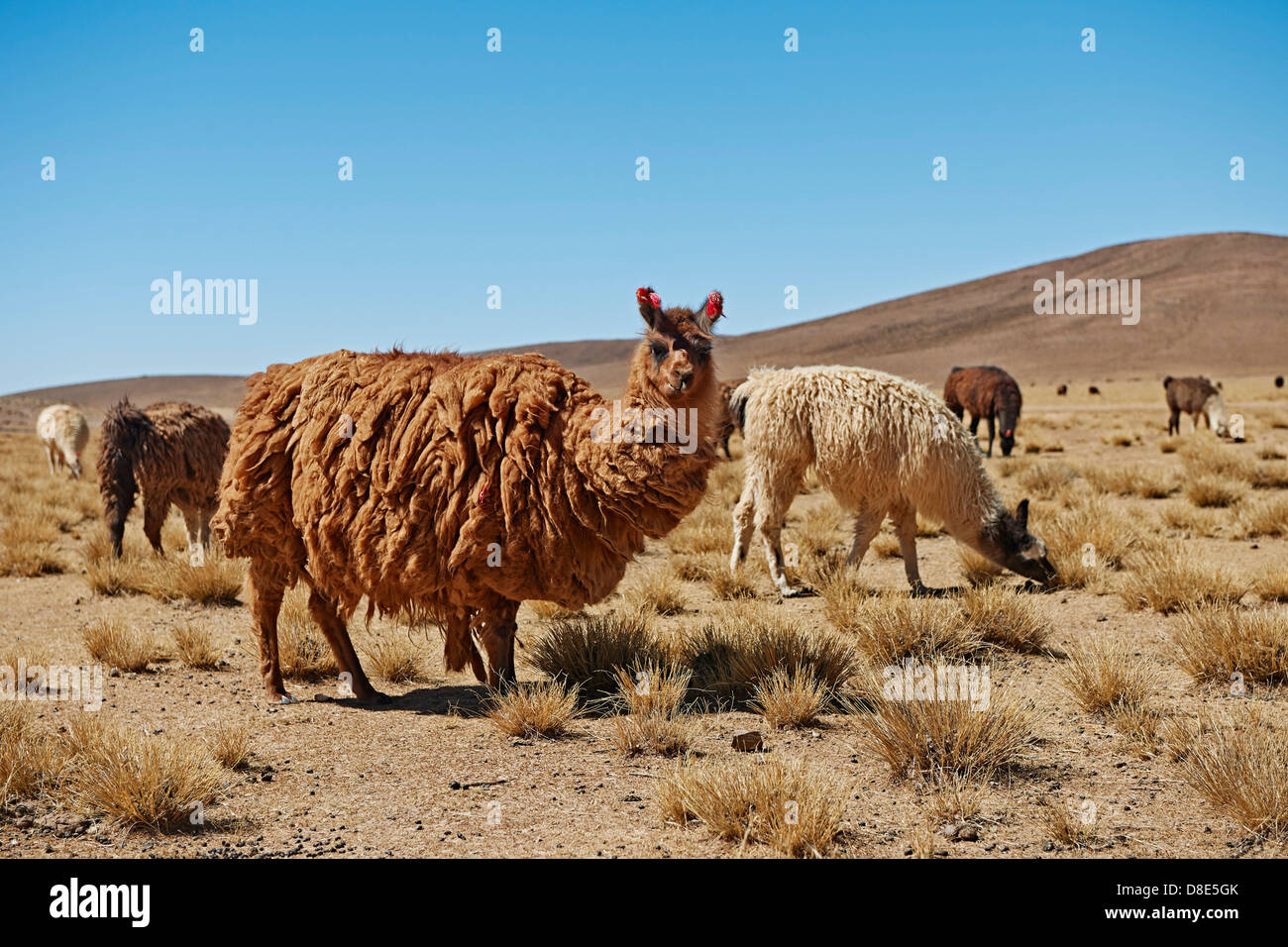 Llamas (Lama glama) on Altiplano, Bolivia Stock Photo