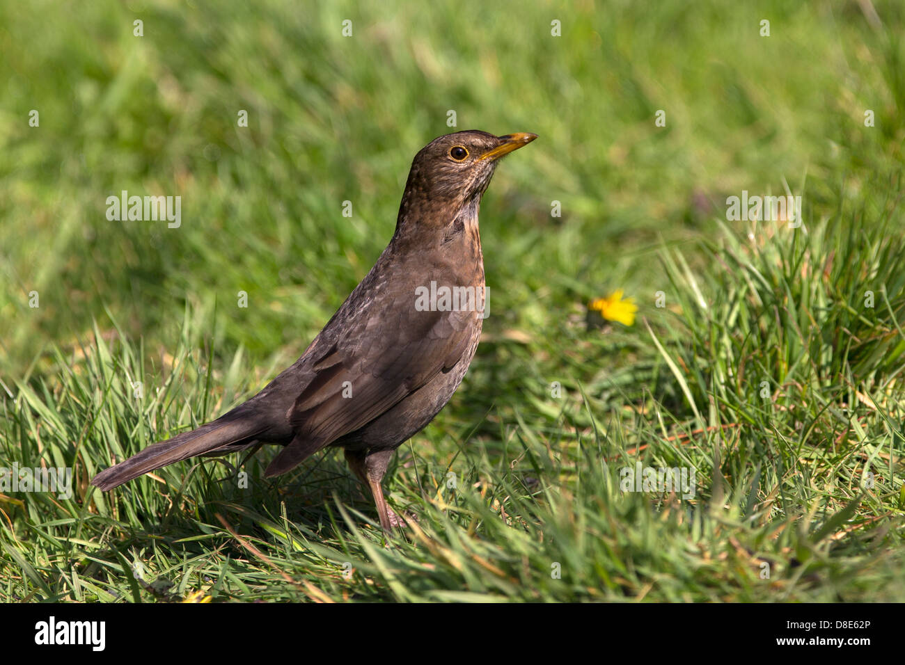 Portrait of a Song Thrush - Stock Image