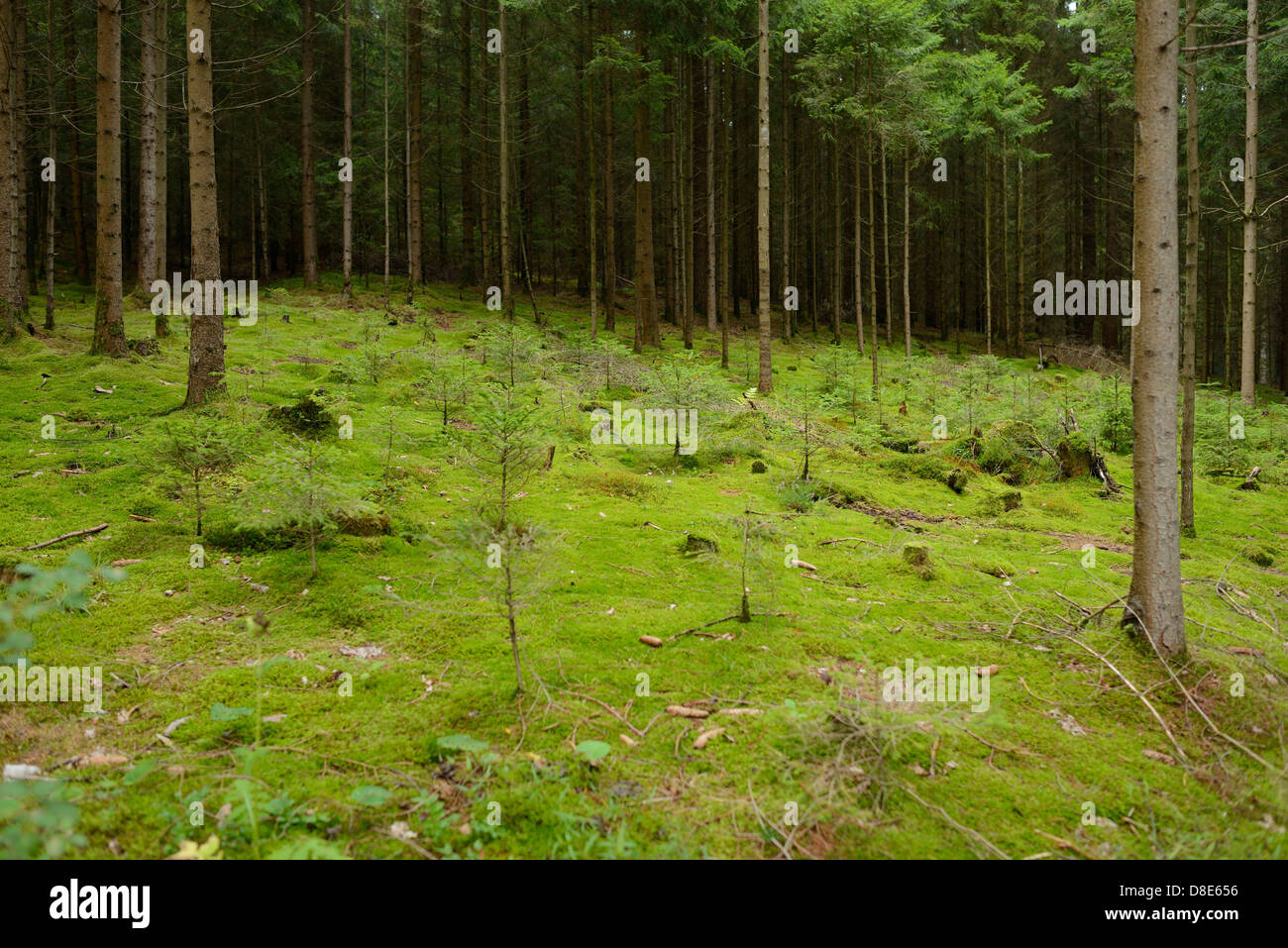 Conifer forest, Upper Palatinate, Bavaria, Germany - Stock Image