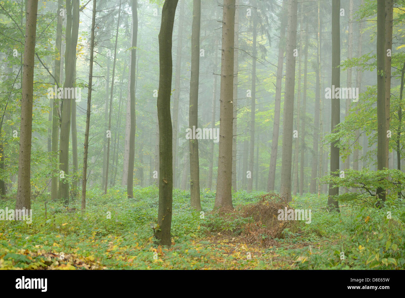 Beech forest in autumn, Upper Palatinate, Bavaria, Germany Stock Photo
