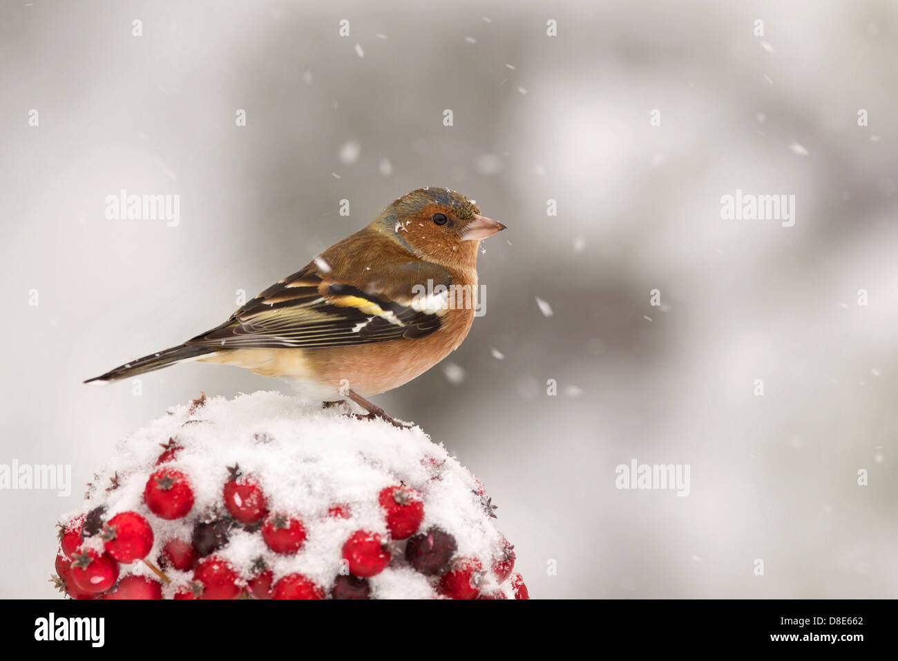 Portrait of a Chaffinch in the snow on red berries - Stock Image