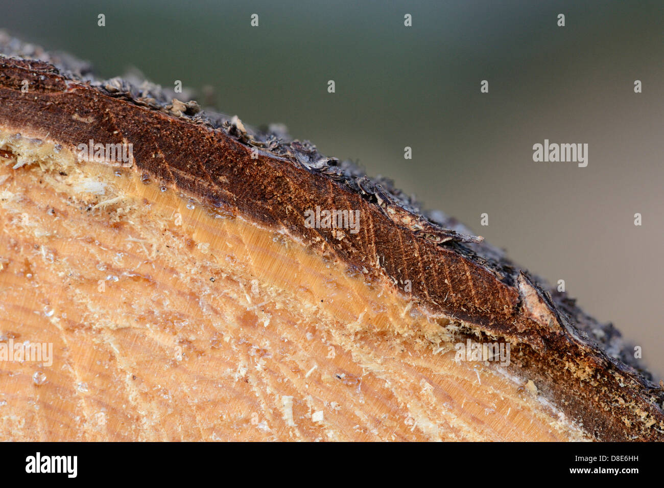 Cut of a tree trunk from a Norway Spruce (Picea abies), macro shot - Stock Image