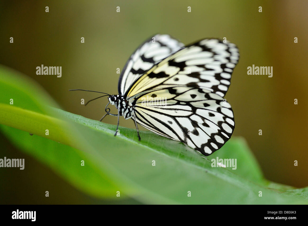 Butterfly Large Tree Nymph (Idea leuconoe) on a leaf - Stock Image