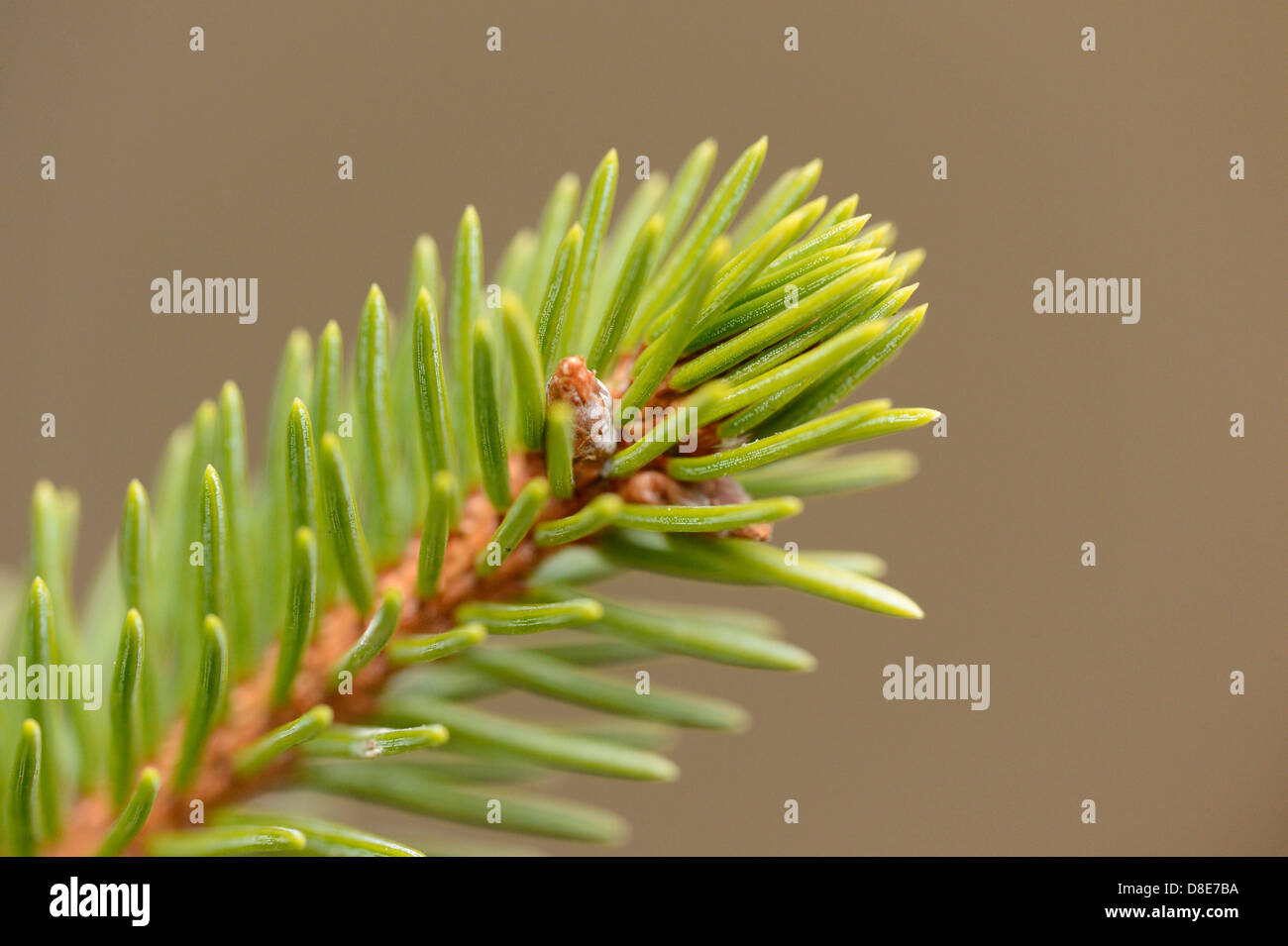 Branch from a Norway Spruce (Picea abies), close-up Stock Photo