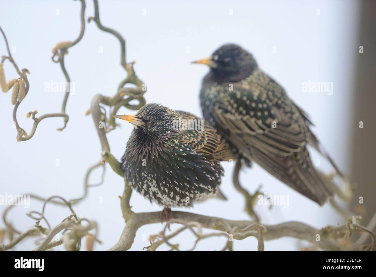 Two Common Starlings (Sturnus vulgaris) sitting on a branch - Stock Image