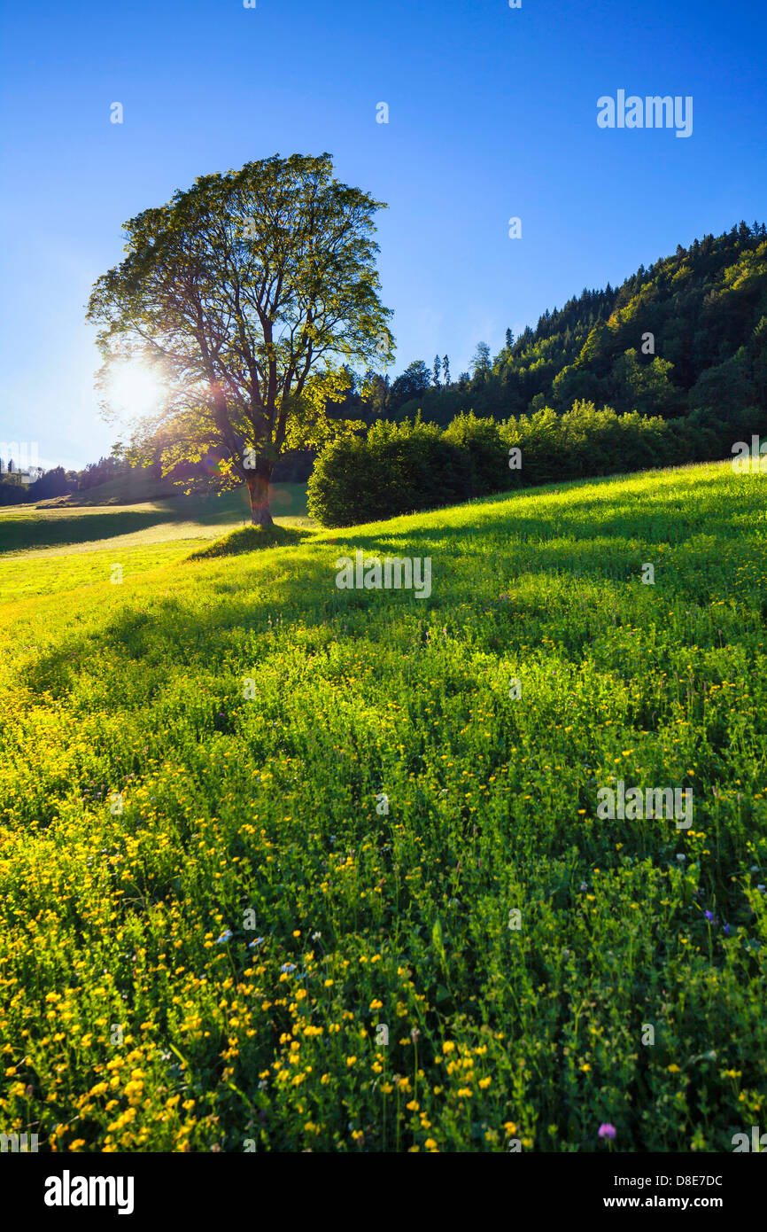 Mountain meadow and maple tree in spring at the Gaisberg, Austria - Stock Image