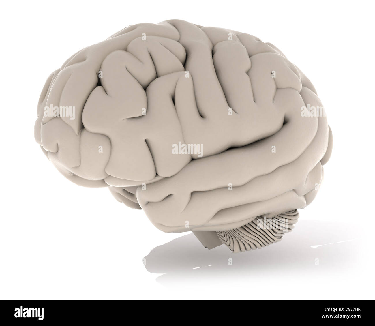 Cerebrum Cut Out Stock Images Pictures Alamy