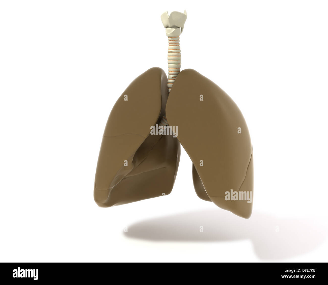 Illustration of a lung with larynx and trachea - Stock Image