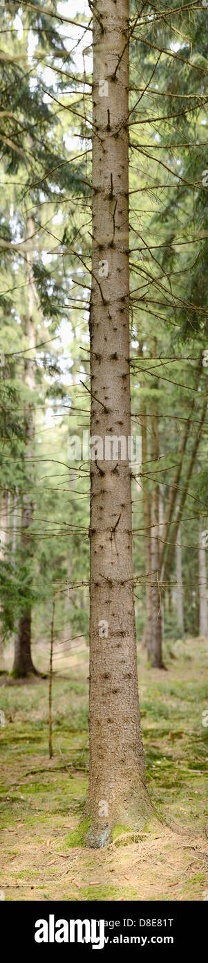 Tree trunk from a Norway Spruce (Picea abies) - Stock Image