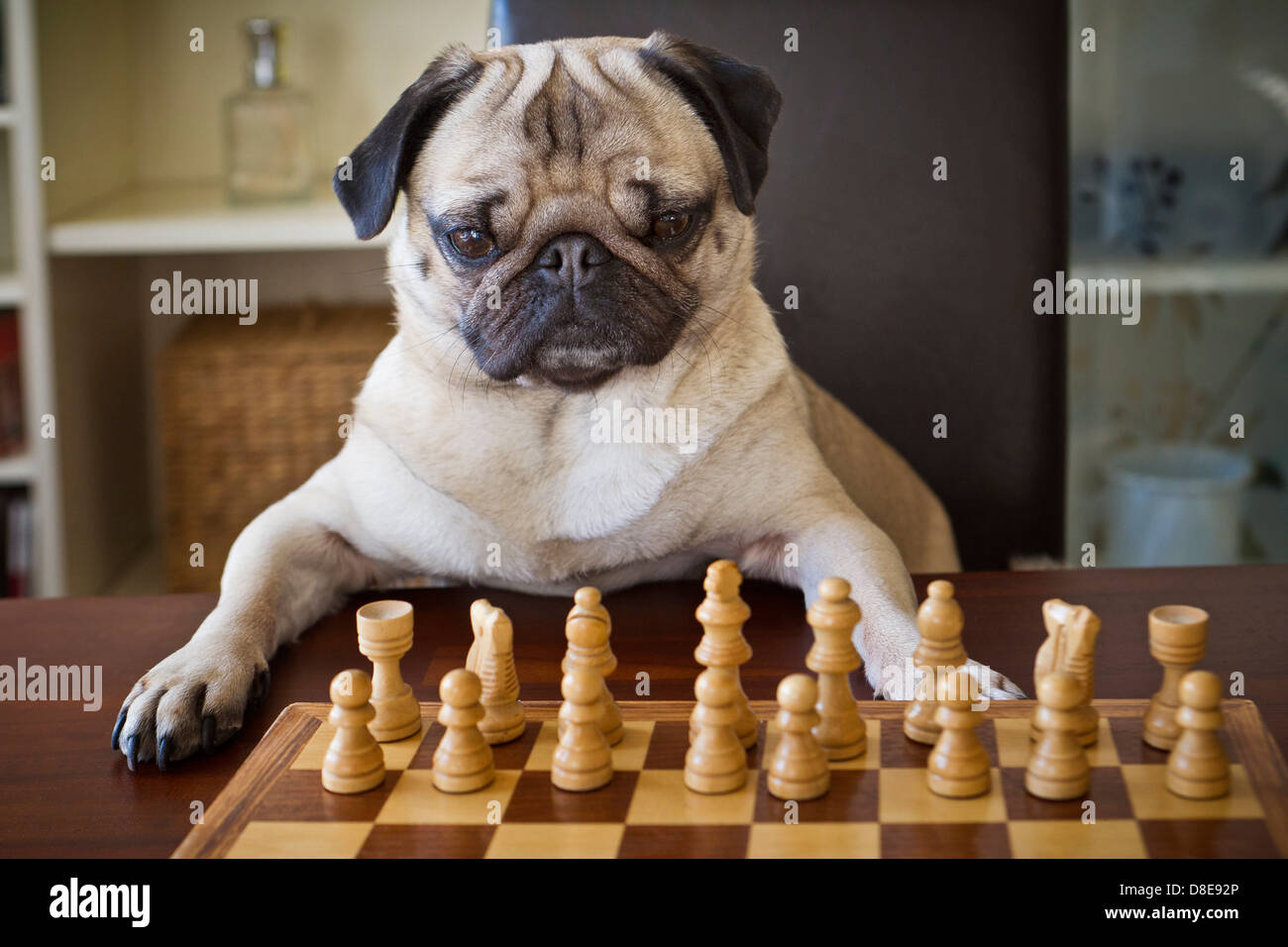 Pug dog sitting at checkerboard - Stock Image
