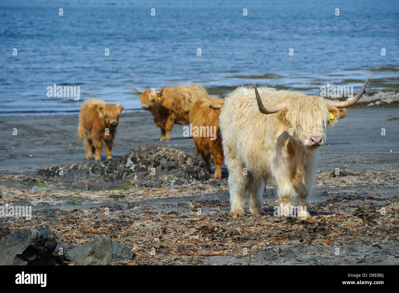 A blonde coloured highland cow walking across a seaweed covered sandy beach in a remote part of the scottish highlands. - Stock Image