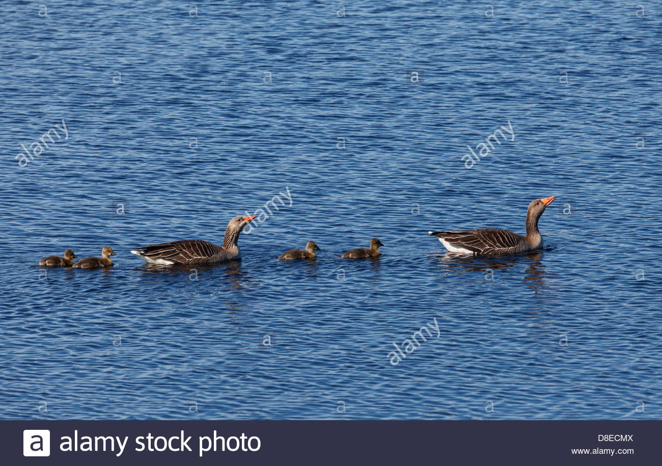 A family of Greylag Geese (Anser anser) on Loch na Muilne near Carloway, Isle of Lewis, Outer Hebrides, Scotland - Stock Image