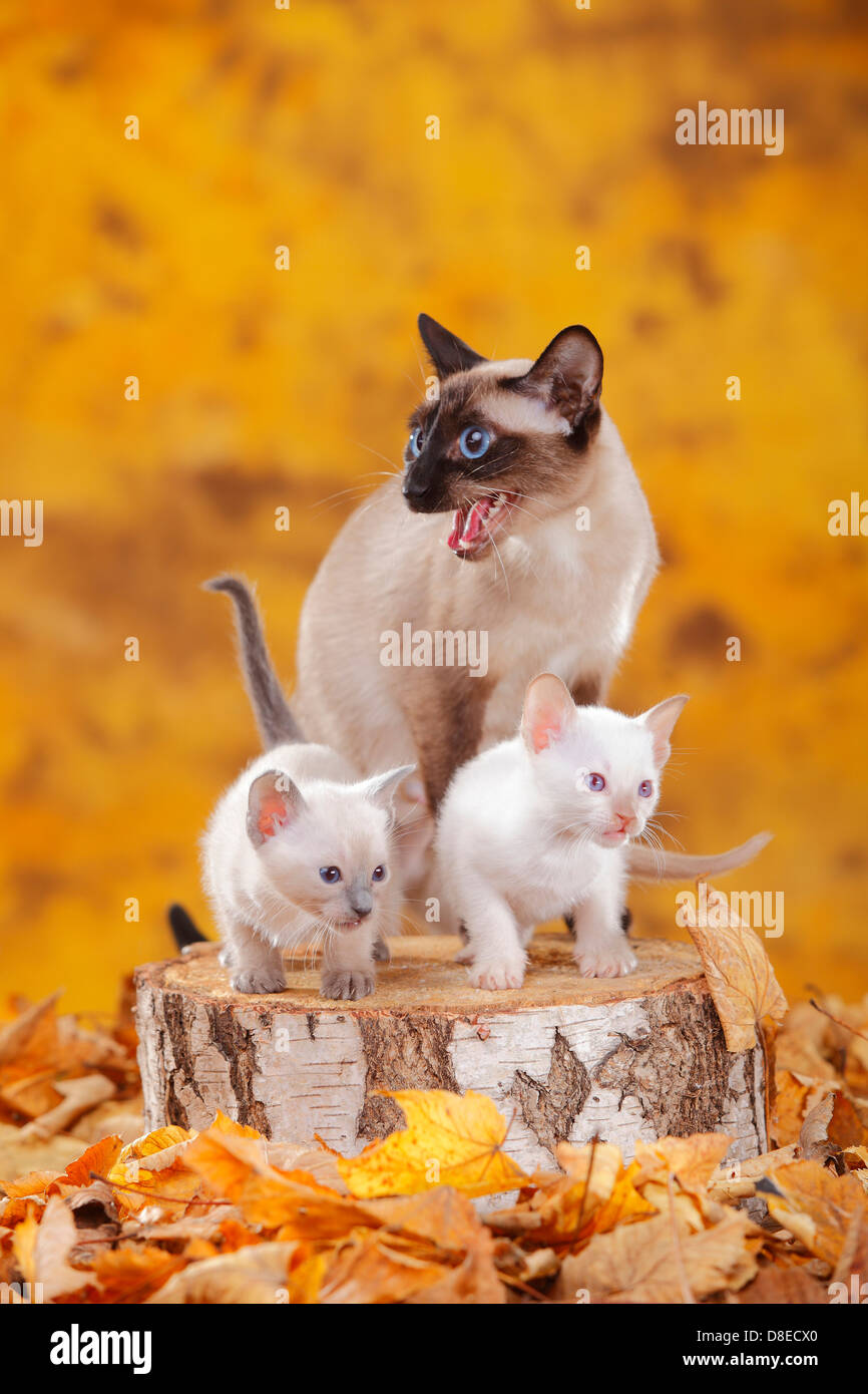 Classic Siamese Cat, seal-point, with kittens, blue-point and cinnamon-point - Stock Image