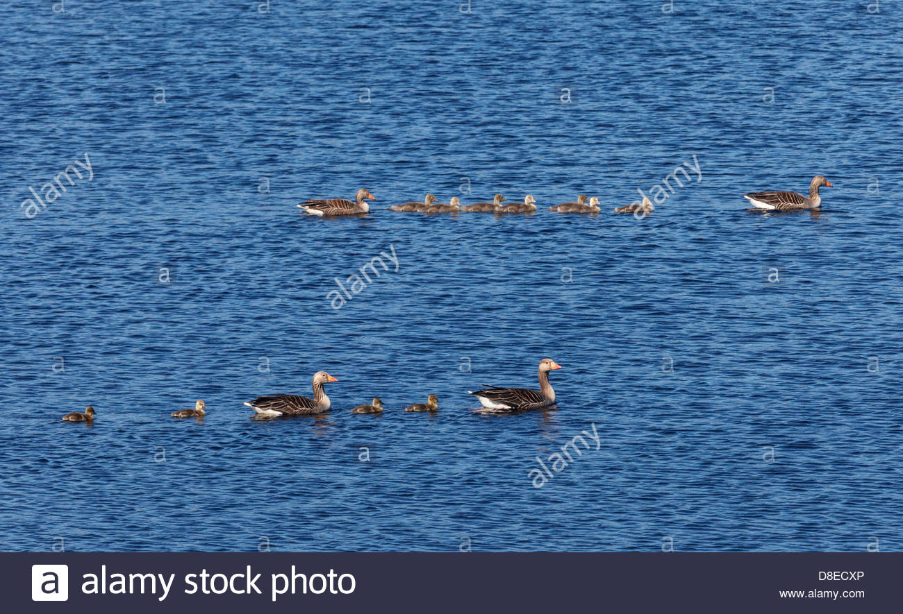 Two families of Greylag Geese (Anser anser) on Loch na Muilne near Carloway, Isle of Lewis, Outer Hebrides, Scotland - Stock Image