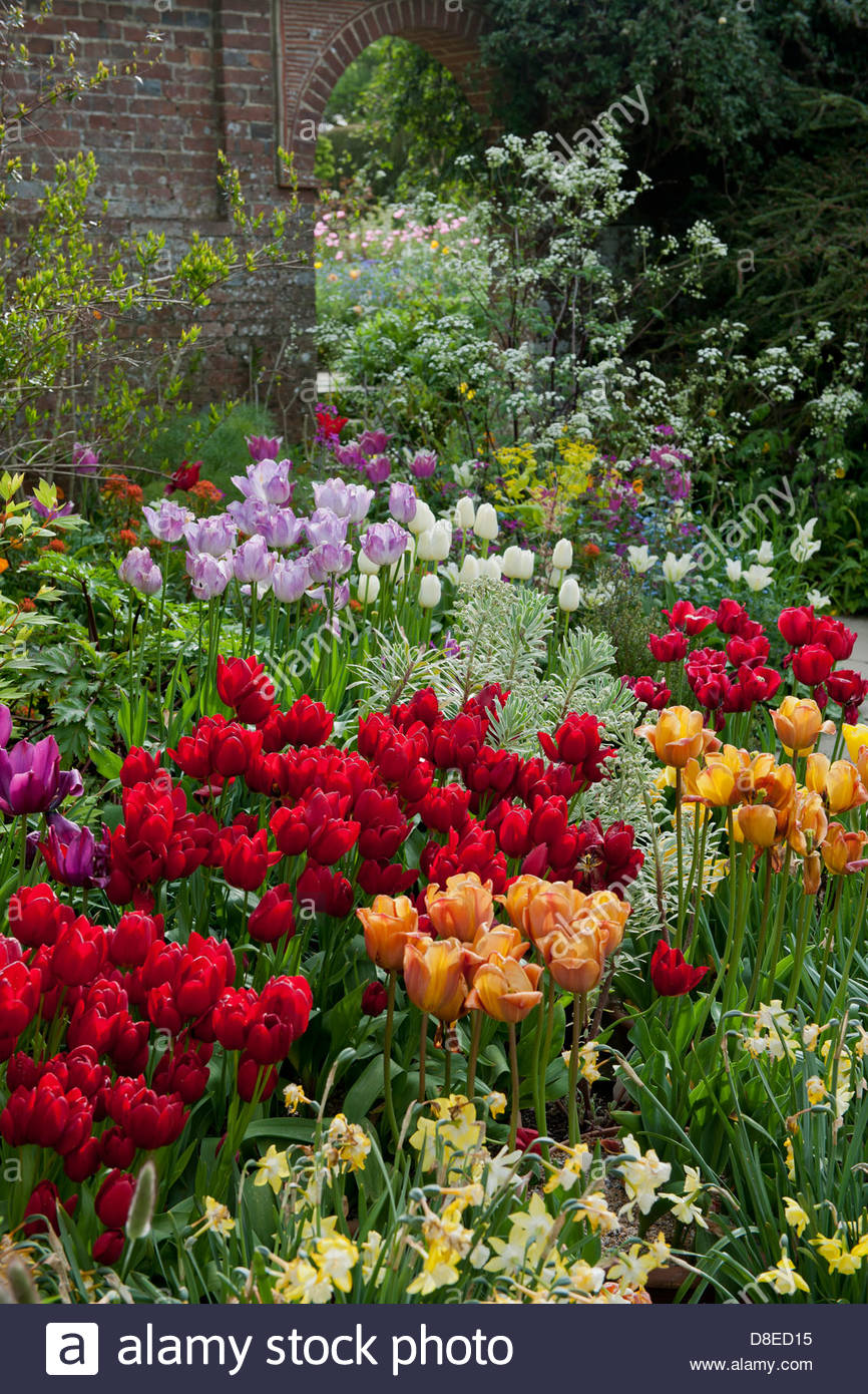 mixed tulips daffodils perennial in containers - Stock Image