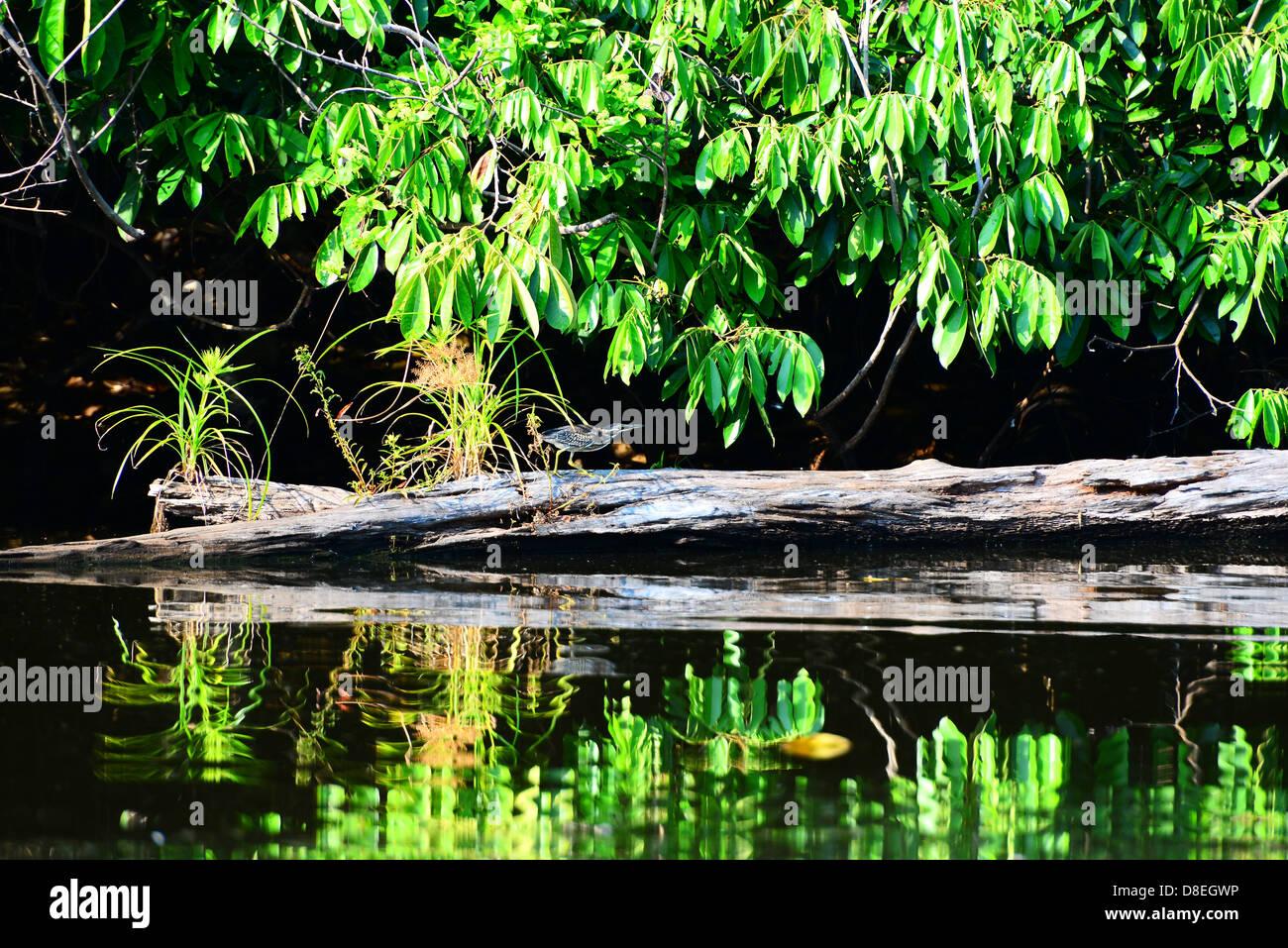 Bird hunting on Salvador lake. National Park Manu. Peru. - Stock Image